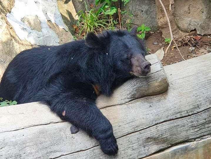 Resting Asian Black Bear