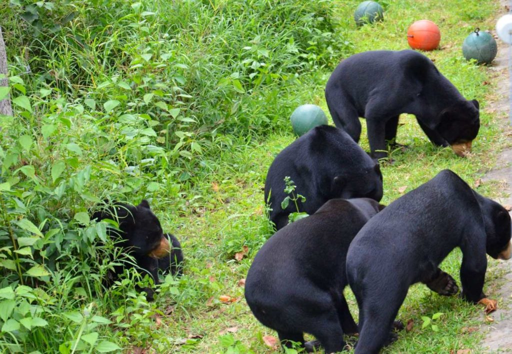 Some Asian Black Bears Foraging for Food