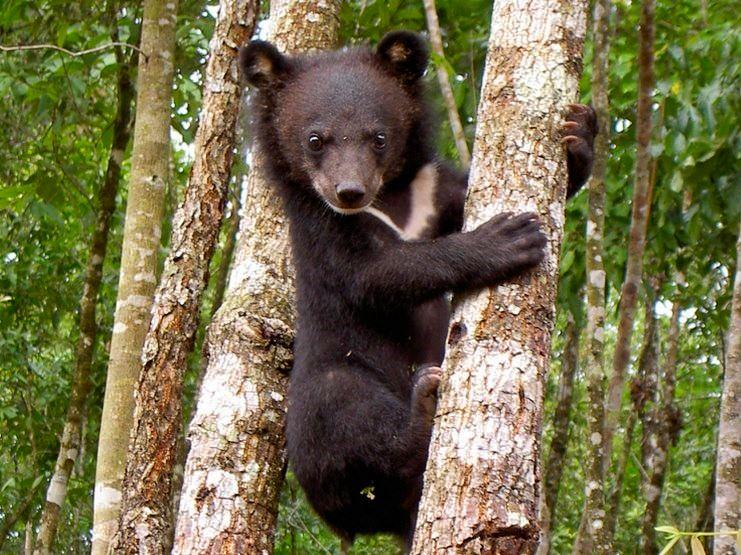 Malayan Sun Bear Thailand