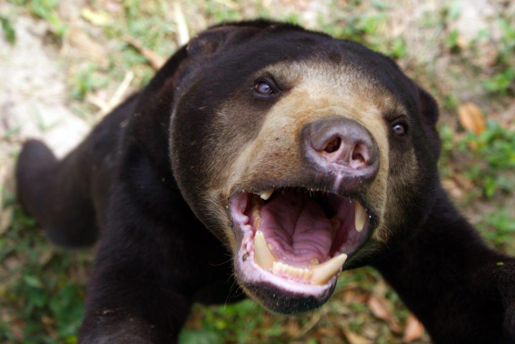 Bear in Thailand
