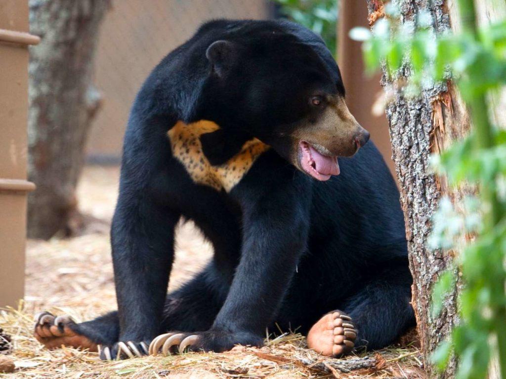 Sun Bear Sitting in Thai Zoo
